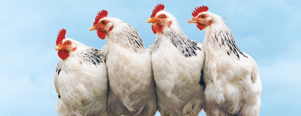 The Bird Farm is selling in bus stations brown and white chickens of Hy-Line breed that have laid eggs for one year at € 4/pc. (information telephones: (+372) 5031485, (+372) 5017500): SATURDAY, May 18, ROUND 1.